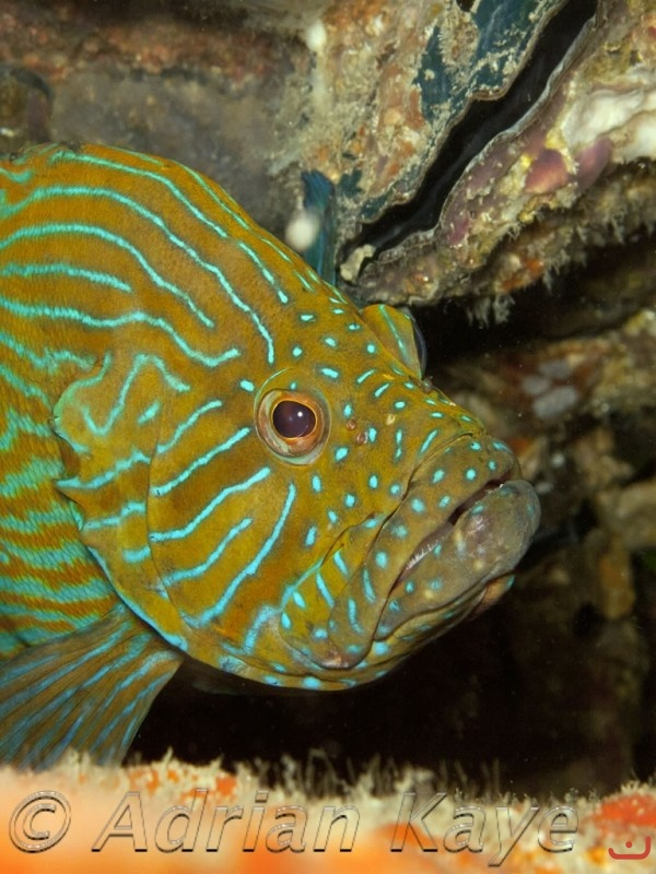 Blue Hind Grouper