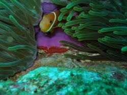 Anemonefish with nest filled with eggs