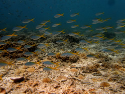 Explore a tropical coral reef and enjoy Yellow Fusiliers swimming over the reef.