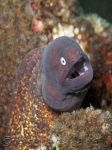 White Eyed Moray Eel