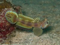Wide Bar Shrimp Goby
