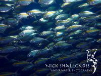 underwater-photographs-nick-shallcross_22