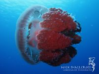 underwater-photographs-nick-shallcross_31