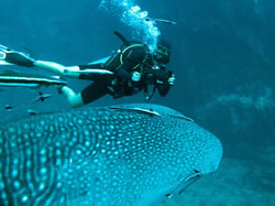 Filming a whale shark