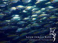 underwater-photographs-nick-shallcross_22